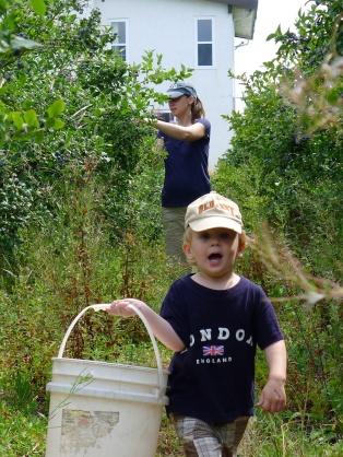 Picking blueberries in Richmond